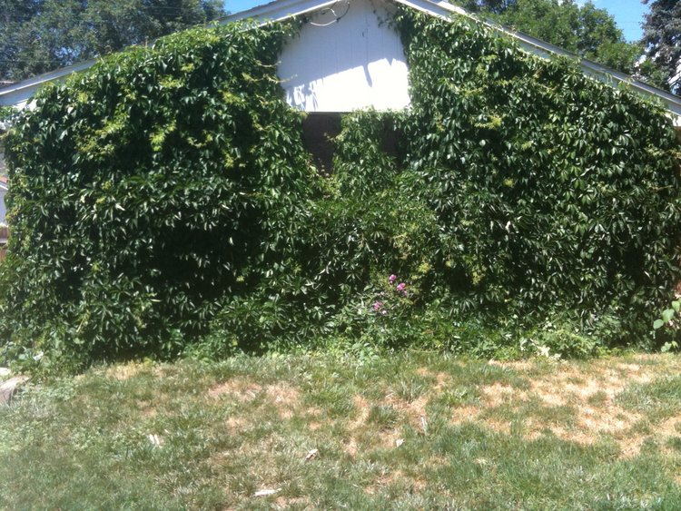 The garage hidden behind ivy